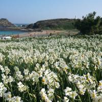 Flower field: Cape Tsumekizaki in Shizuoka Prefecture is expected to be covered in daffodils starting around early January.