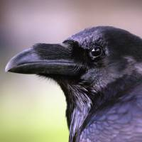 Ravens are capable of cause-and-effect reasoning, planning ahead and bartering.   BLOOMBERG NEWS