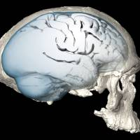 Analysis finds shape of human brain evolved over time to accommodate key advances in function