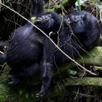 Endangered high mountain gorillas from the Sabyinyo family react as they play inside the forest within the Volcanoes National Park near Kinigi, northwestern Rwanda, Tuesday. | REUTERS