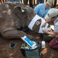 South African veterinarians treat a de-horned rhinoceros that was left to die by poachers in May 2016. | AFP-JIJI