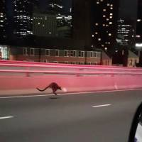 Wallaby gets the jump on police in Sydney Harbour Bridge chase
