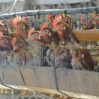 Hens are shown in battery cages at a livestock farm in Kyushu. | ANIMAL RIGHTS CENTER JAPAN