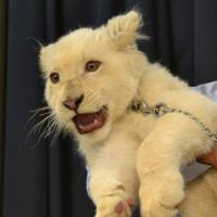 Seramu, a white lion cub, is credited with boosting visitor numbers to the Okinawa Zoo & Museum. | OKINAWA ZOO& MUSEUM / VIA OKINAWA TIMES