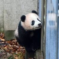 Xiang Xiang the female panda cub is shown Tuesday at Ueno Zoo in Tokyo. The cub turned 7 months old on Friday. | COURTESY OF TOKYO ZOOLOGICAL PARK SOCIETY