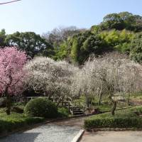 Blossoming up: Atami Plum Garden provides a lovely place to take a walk.