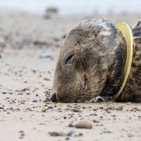 An injured seal with a plastic toy caught on its neck lies on the beach in Horsey, England. Traditional plastics  that are not disposed of properly continue to pose a serious environmental threat for decades, but new 'bioplastics' can be assimilated back into the environment. | GETTY IMAGES