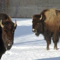 Bison stand in Yellowstone National Park on Jan. 20. | AP