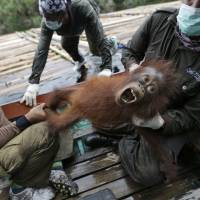 Borneo's orangutan population plunged by 100,000 since 1999: study