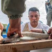 Eduardo Espinoza, head of Galapagos's National Park Marine Ecosystems monitoring team, measures a baby hammerhead shark, where a nursery for the fish was discovered along the coast of Santa Cruz Island, Ecuador, on Jan. 21. | AFP-JIJI