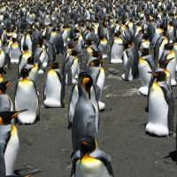 Cruel climate dilemma for iconic King penguins: feed or breed