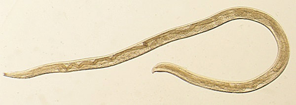 Thelazia gulosa, a type of eye worm, appears in a handout photo provided by the U.S. Centers for Disease Control and Prevention (CDC) on Feb. 8.   CDC / HANDOUT / VIA REUTERS
