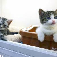 The number two — pronounced ni in Japanese — can be associated with nya, the Japanese onomatopoeia for feline meowing. So Feb. 22 can be read as 'nya nya nya,' prompting the Japan Pet Food Association to officially designate it Cat Day. | KYODO