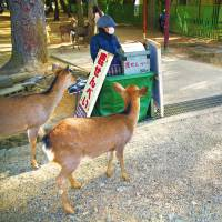 Visiting from Tokyo, 17-year-old Aoi Naito tries to determine the best angle for a photo as wild deer approach a stall selling shika senbei (deer crackers), in Nara Park in the city of Nara. | YOSUKE NAITO