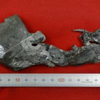 This fossil from a primitive horned dinosaur, including its lower jaw, was found in Sasayama, Hyogo Prefecture. | KYODO