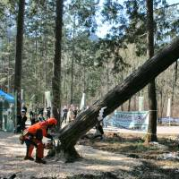 A tree-cutting ceremony is held in Shirakawa, Gifu Prefecture, on Tuesday marking the beginning of lumber procurement for the Village Plaza, a facility to be used during the Tokyo Olympics and Paralympics in 2020.   KYODO