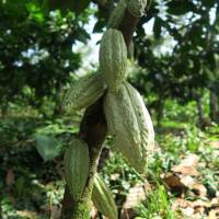 Meiji to supply Mexican farmers with rare white cacao saplings in push to create premium chocolates