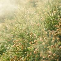 Meteorologists predict this year's cedar and cypress pollen counts could be twice as high compared with 2017 in some parts of the country. | GETTY IMAGES