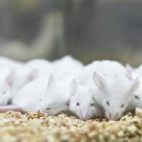 Researchers at the International Institute for Integrative Sleep Medicine in Tsukuba, Ibaraki Prefecture, introduced random genetic mutations in more than 8,000 mice and then examined the animals for abnormal sleep patterns. | GETTY IMAGES
