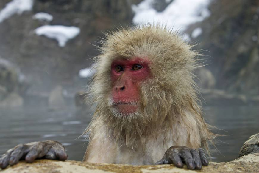 A Japanese macaque baths in the natural hot spring at the Jigokudani Monkey Park in Nagano Prefecture.