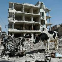 A cow is seen attached to scrap metal near destroyed buildings in Douma, in the rebel enclave of eastern Ghouta on the outskirts of Damascus on Monday. Syria's regime pressed its relentless offensive on eastern Ghouta as diplomats at the United Nations pushed for new efforts to end the 'bloodbath' in the rebel enclave. | AFP-JIJI