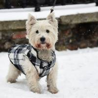 Harvey, a 3-year-old West Highland Terrier walks in the snow in Dublin on Thursday.   REUTERS