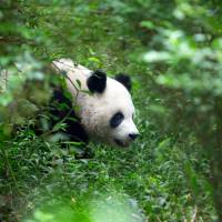 A Chinese giant panda in the wild | ISTOCK