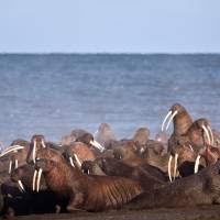 In this 2013 photo provided by the United States Geological Survey (USGS), walruses gather to rest on the shores of the Chukchi Sea near the coastal village of Point Lay, Alaska. A national environmental organization seeking additional protections for Pacific walrus is suing the Trump administration for failing to list the marine mammals as a threatened species. | RYAN KINGSBERY / USGS / VIA AP