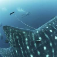 This 2017 photo provided by Simon Pierce shows a double-tagged whale shark, with a position tag on a tether and a satellite tag attached to a fin in the Galapagos Islands area of Ecuador. | SIMONJPIERCE.COM / VIA AP