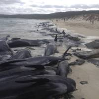 Over a hundred stranded whales die on Australian beach
