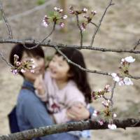 This spring's first bloom of the Somei-Yoshino variety of cherry tree has been confirmed in the city of Kochi. | KYODO
