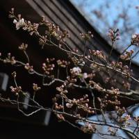 Spring declared as Tokyo spots season's first cherry blossoms