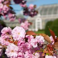 London parks to be next target of Japan's cherry-blossom diplomacy