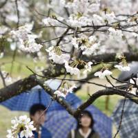 People look at cherry blossoms at Kochi Castle Park in Kochi Prefecture on Monday. The trees reached full bloom earlier than any other place in Japan this year. | KYODO