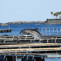 A dolphin leaps in its pen in Moriura Bay in this undated photo. The town is gradually converting the bay into a large dolphin attraction.. | RIC O'BARRY'S DOLPHIN PROJECT