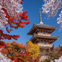 Through genetic manipulation, Kyoto University researchers have cracked the code of cherry trees and found a way to make them bloom in both spring and fall. | GETTY IMAGES