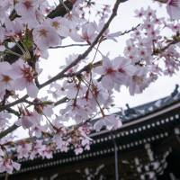 Sacred experience: Though always busy in spring, the Kiyomizudera Temple in Kyoto is renowned for its impressive display of sakura (cherry blossoms). | WEI-TE WONG, VIA FLICKR / CC BY-SA 2.0