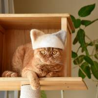 Scottish Fold Mugi, here wearing a cat-ear hat, first brought attention to the Yamazakis' Instagram account when he wore a clump of hair that looked like U.S. President Donald Trump's hairdo. | SATOKO KAWASAKI