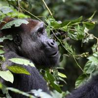 Scientists find lots of gorillas in Africa census but also see 19% plunge