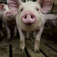 Scientists keep decapitated pigs' brains alive for 36 hours