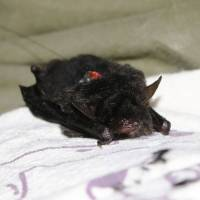 Endangered bat, believed to be extinct locally, discovered in former U.S. training area in Okinawa