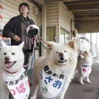 Wasao (center) and his mate, Tsubaki (left), watch an incoming train at Ajigasawa Station in Aomori Prefecture. The dog, which has become a social media celebrity, was reappointed 'tourism stationmaster' in the town Sunday. | KYODO