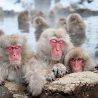 Nagano's snow monkeys bathe in hot springs to relieve stress, study says