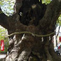 Revered sights: A 500-year-old sacred zelkova tree at Imamiya Shrine, one of the key spiritual loci related to Chichibu sects of Shinto and Shugendo. | AMY CHAVEZ