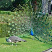 Peacocks rely on their looks for the chance to mate. | TOASTYKEN VIA WIKIMEDIA COMMONS