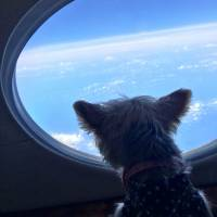 One of Zoe Man's Yorkshire terriers looks out of a window onboard a private jet. | REUTERS