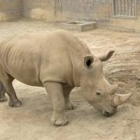 Rhino in San Diego zoo pregnant via artificial insemination, could help save subspecies