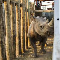 A rhino is seen in a cage Wednesday in the Addo Elephant Park, near Port Elizabeth, South Africa, to be transported to Zakouma National Park in Chad. Six critically endangered black rhinos are being sent from South Africa to Chad, restoring the species to the country in north-central Africa nearly half a century after it was wiped out there. | AP