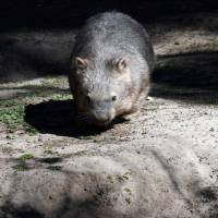 Bum-biting wombat's mating habits could hold key to survival