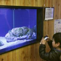 Visitors to the Aquarium of Crab and Shrimp in Susami, Wakayama Prefecture, look at a Tasmanian giant crab on March 21. | KYODO
